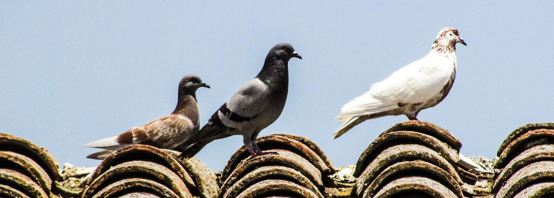 Pigeons eviction
